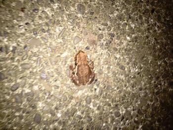 渋谷のカエル