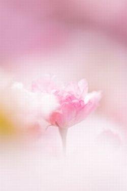 桜を英語で伝えると・・・