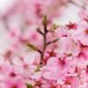 日本の桜 外国人の反応