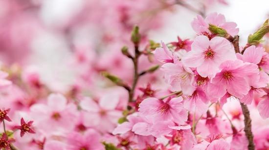 桜(お花見)について英語で話してみよう