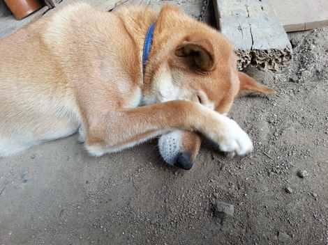 花粉症で目をかくイヌ