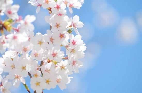 英語で花見は?