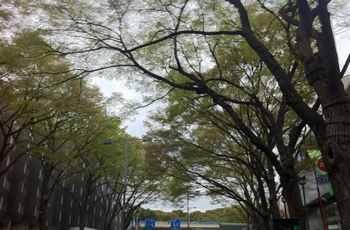 表参道のけやき並木新緑