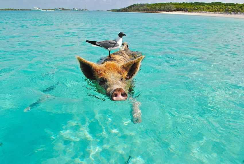 海の日を泳ぐイノシシ