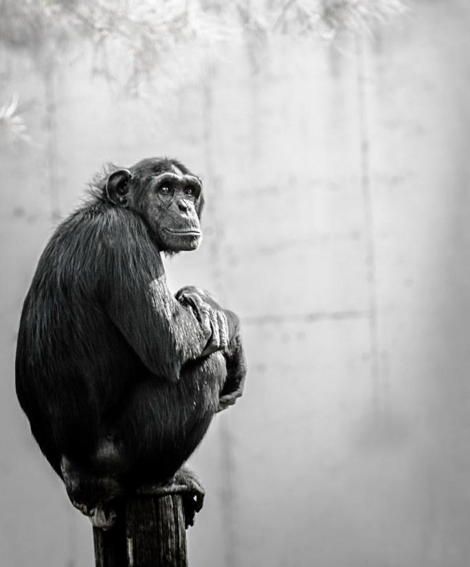 チンパンジーと人間の実験