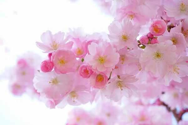 桜の開花具合を英語で説明する