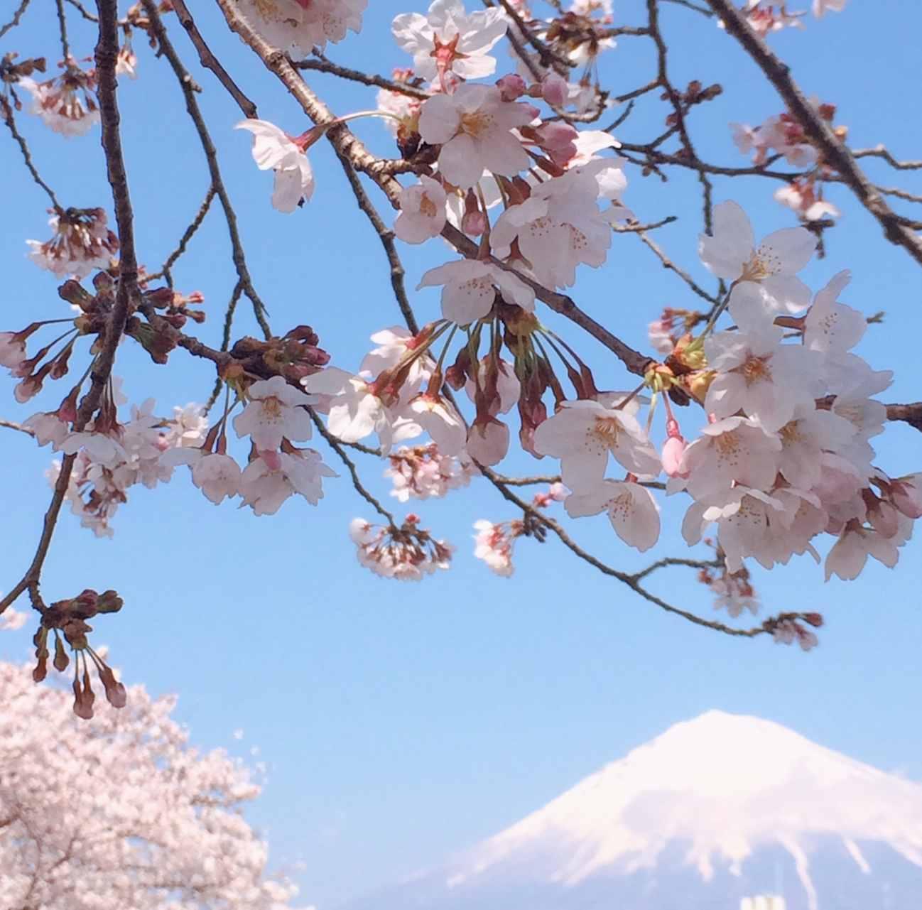 桜のシーズンの英語