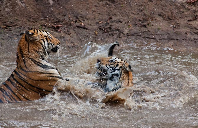 11-captive-tigers-play-with-each-other-670.jpg