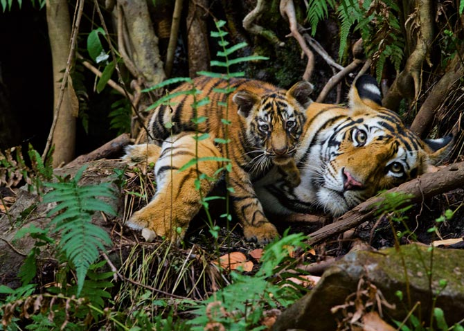 14-mother-rests-with-cub-670.jpg