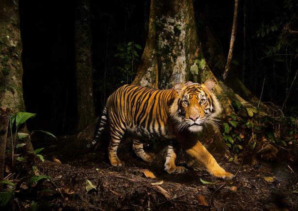 tiger-camera-trap-sumatra-615.jpg